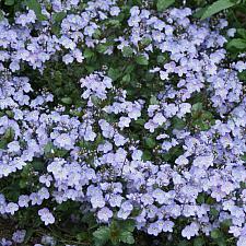 VERONICA 'Waterperry Blue', Speedwell