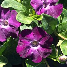 VINCA minor 'Purple/Rosea', Dwarf Periwinkle