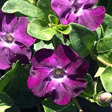 VINCA minor 'Purple/Rosea', Dwarf Periwinkle