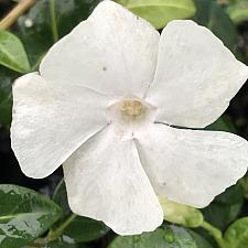 VINCA minor 'White', Dwarf Periwinkle