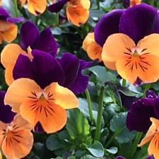 VIOLA cornuta' Penny Orange Jump-Up',