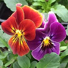 VIOLA cornuta 'Sorbet Antique Shades', Horned Violet