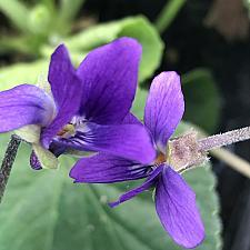 VIOLA odorata, Sweet Violet