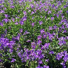 CAMPANULA 'Birch Hybrid', Dwarf Bellflower, Birch's Bellflower