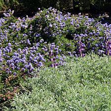 CEANOTHUS hearstiorum, Hearst's California Lilac