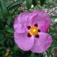 CISTUS x purpureus, Orchid Rockrose