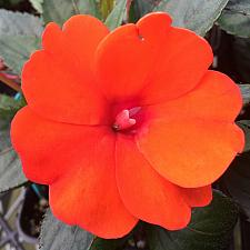 IMPATIENS hawkeri 'Sun Harmony Deep Orange', New Guinea Impatiens