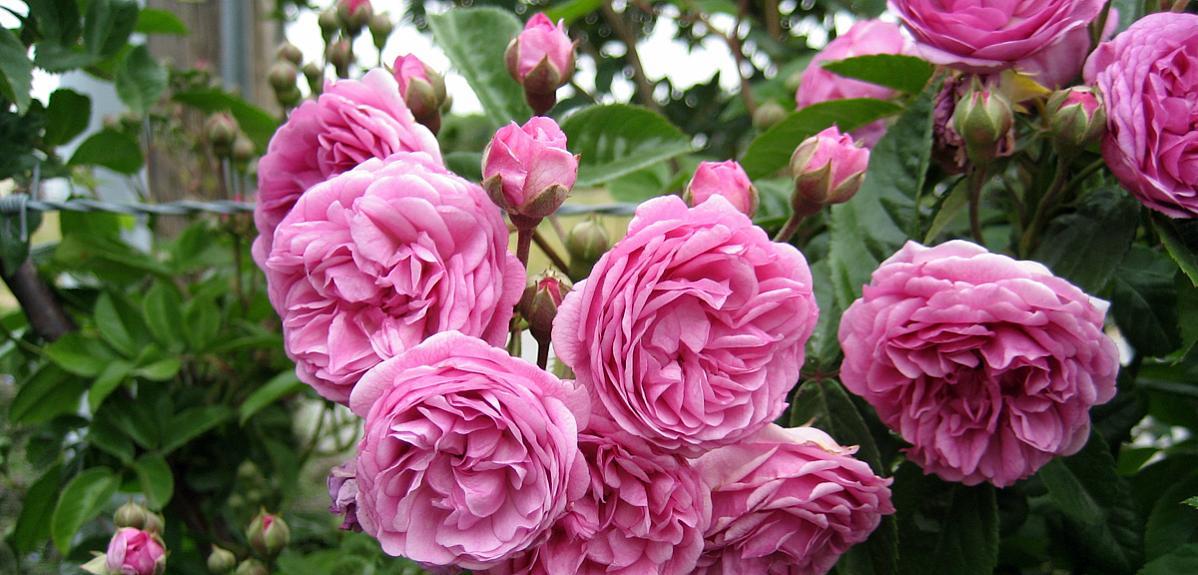 Rosa emerisa gardens