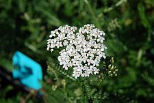 ACHILLEA millefolium 'White Beauty', Yarrow