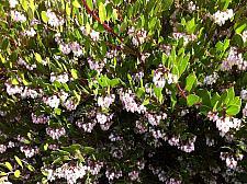 ARCTOSTAPHYLOS densiflora 'Howard McMinn', Sonoma Manzanita, Vine Hill Manzanita