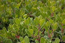 ARCTOSTAPHYLOS uva-ursi 'Green Supreme', Manzanita, Bearberry
