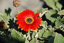 ARCTOTIS hybrid 'Pumpkin Pie', African Daisy