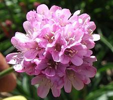 ARMERIA alliacea, Thrift Sea Pink