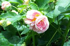 ABUTILON 'Double Pink', Flowering Maple, Chinese Lantern