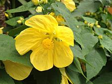 ABUTILON 'Lucky Lantern Yellow', Dwarf Flowering Maple, Chinese Lantern