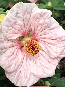 ABUTILON 'Mobile Pink', Flowering Maple, Chinese Lantern