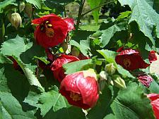ABUTILON x hybridum 'Nabob', Flowering Maple, Chinese Lantern