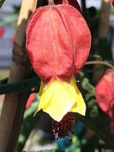 ABUTILON 'Teardrop', Flowering Maple, Chinese Lantern