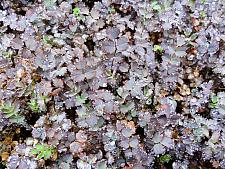 ACAENA inermis 'Purpurea', Purple New Zealand Burr, Purple Goose Leaf