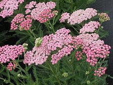 ACHILLEA millefolium 'Pink Grapefruit', Tutti Frutti Series Yarrow