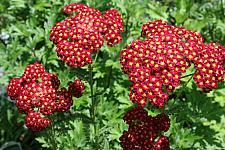 ACHILLEA millefolium 'Strawberry Seduction', Seduction Series Yarrow