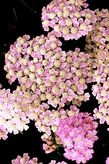 ACHILLEA millefolium 'Wonderful Wampee', Tutti Frutti Series Yarrow