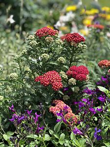 ACHILLEA Penhow 'Heartthrob', Penhow Series Yarrow