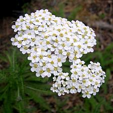 ACHILLEA millefolium (seed grown), Common Yarrow