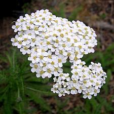 ACHILLEA millefolium (seed grown), Common Yarrow
