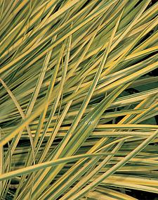 ACORUS gramineus variegatus 'Ogon', Golden Variegated Japanese or Grassy Sweet Flag