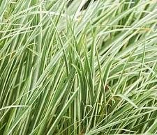 ACORUS gramineus variegatus, White Striped Japanese or Grassy Sweet Flag