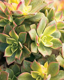 AEONIUM 'Kiwi', Kiwi Aeonium