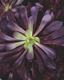 AEONIUM hybrid 'Zwartkop', Black Rose