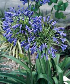 AGAPANTHUS praecox ssp. orientalis 'Stevie's Wonder', Lily-of-the-Nile