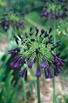 AGAPANTHUS inapertus nigrescens, Lily-of-the-Nile