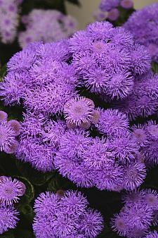 AGERATUM houstonianum 'Bumble Blue', Floss Flower