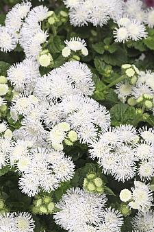 AGERATUM houstonianum 'Bumble White', Floss Flower