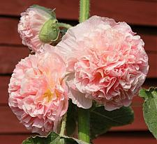 ALCEA rosea 'Chater's Double Salmon Pink', Hollyhock