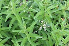 ALOYSIA triphylla (syn. LIPPIA citriodora), Lemon Verbena