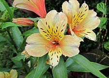 ALSTROEMERIA Inca Ice (='koice'), Peruvian Lily, Inca Lily