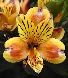 ALSTROEMERIA 'Inticancha Summer Breeze', Peruvian Lily