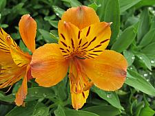 ALSTROEMERIA 'Marmalade', Peruvian Lily, Butterfly Lily