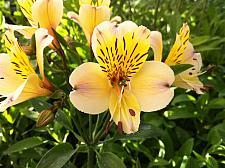 ALSTROEMERIA 'Roy's Yellow', Peruvian Lily