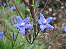 ANCHUSA azurea 'Loddon Royalist',