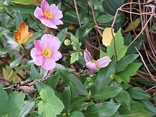 ANEMONE hupehensis japonica 'September Charm', Japanese Anemone