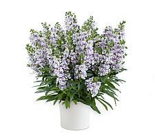 ANGELONIA angustifolia Alonia 'Bicolor Violet', Summer Snapdragon