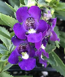 ANGELONIA angustifolia Alonia 'Big Indigo', Summer Snapdragon