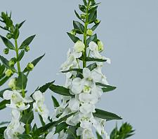 ANGELONIA angustifolia Alonia 'Big Snow', Summer Snapdragon
