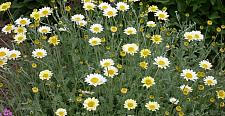 ANTHEMIS Susanna Mitchell (= 'Blomit'), Chamomile, Golden Marguerite