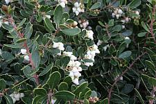 ARCTOSTAPHYLOS densiflora 'Emerald Carpet', Sonoma Manzanita, Vine Hill Manzanita